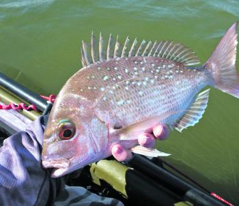 Snapper become more common as you start fishing deeper.