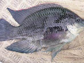Stop the spread of one of the top 100 worsts pests in the world – tilapia.