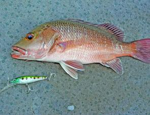 Mangrove jacks will become more active in the Nerang and Coomera rivers as conditions warm.