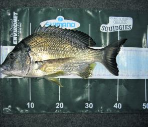 Fishing with lighter leader can result in quality fish like this wise old bream.
