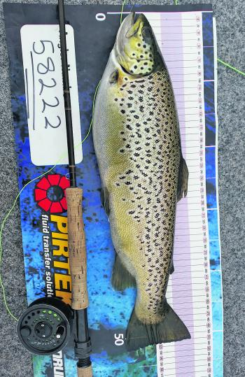 The author took this cracking 51cm brown trout on a Possum Emerger fly pattern from Lake Wendouree.