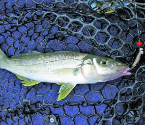 Sand whiting are aggressive and are taking anything from bloodworms to poppers.