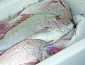 Snapper are on fire around Bundaberg in June.