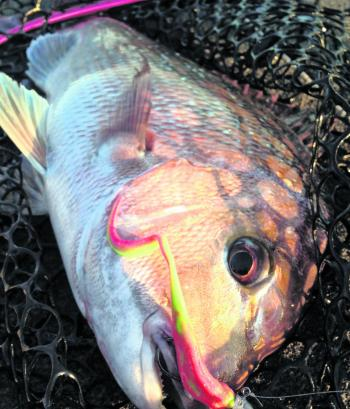 Areas of shallow reef are expected to turn up plenty of pinkie snapper action this month.