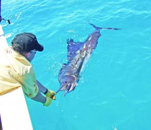 This sailfish was released from the top of Fraser Island caught aboard Xtasea.