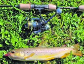 A small brown trout taken from a tributary of the Kiewa River on a Strike Tiger nymph soft plastic in Copper Berry colour.