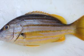 Stripey have a size limit of 25cm, and has a bag limit of five.
