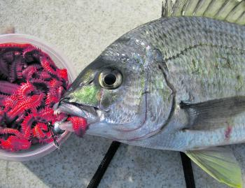 Using cured or live sandworm on a jig head has caught plenty of bream lately.