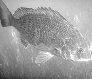 There are still times when bream throw caution to the wind but they are becoming less frequent.