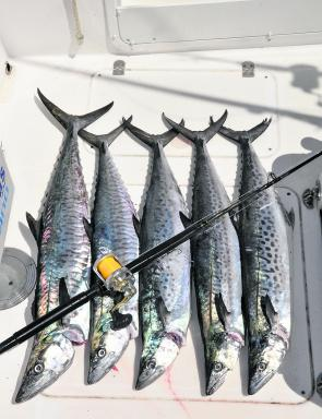 Coffs Harbour is enjoying an outstanding mackerel season and the spotties are just huge. If I can catch them, anyone can!