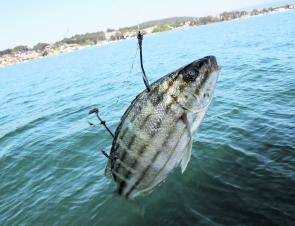 Trumpeter are and effective and underused live bait.