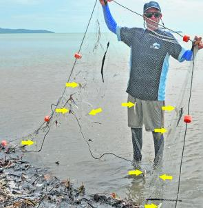Small section of a drag net with 10 fatally meshed juvenile king threadfin indicated by yellow arrows. At least 20 died in this trial four-minute drag by David and family. Hundreds of similar sizes were killed by prawn drag netters that weekend.