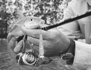 This Bassday sinking popper catches bream and whiting. This little fella slapped the 55mm popper while it was being ripped on the surface.