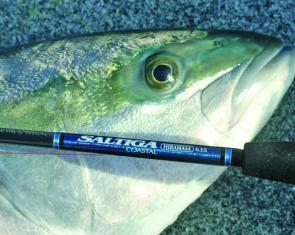 Kingfish have made a welcome appearance throughout the southwest.