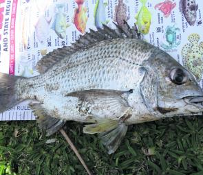 This 29cm bream took some serious drag, smashing through mud and oysters to give the leader a tough workout.