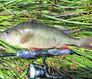Good-sized redfin perch are the mainstay of the bait fishing brigade.