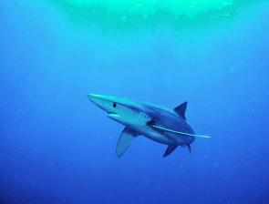 A blue shark sneaking about. Note the 'sad face' that helps differentiate from the makos.