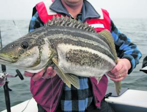 Striped trumpeter are on the agenda for offshore anglers, especially on those calm winter days.