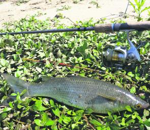 River mullet are common captures in the warmer months. Use bread suspended under a float.
