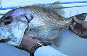 This is one serious pearlie. You'll find plenty decent-sized specimens in waters over 72m and in the central areas of Wide Caloundra.