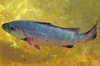 Jacks are powerful predators and are feared by every baitfish swimming in the creek.