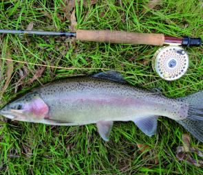 Just on a kilo of jack rainbow trout taken on a dry fly around Ebor.