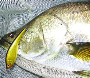 A Faust impoundment barramundi caught on a gold Bushy Boney Bream shallow hardbody.