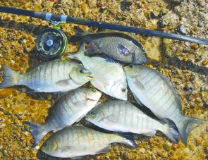 Bread baits work quite well for blackfish and also attract bream and drummer.