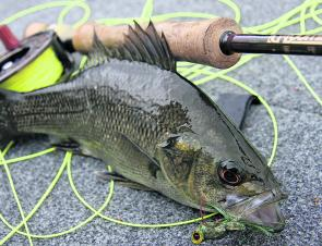 Brogo is an excellent location for the fly angler. The author fooled this bass on a self-tied floating insect imitation – one very unfortunate fish!