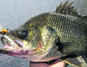This bass swiped the author's lure upon the fourteenth cast at one snag. Persisting can often aggravate the bass into charging the lure out of frustration. Note where the bass is hooked.