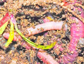 A great punnet of garden worms fit for a king trout. Scrub worms are excellent bait, but in my personal opinion garden worms work just as well when the trout are feeding on worms.