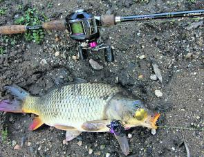 An unusual catch – a European carp caught recently in the Ovens River on a Bassman Spinnerbait.