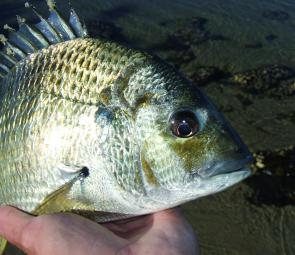 Bream can be found anywhere from top to bottom, depending on factors such as water temperature, time of day and what type of food they're eating. The author generally favours soft plastics for bream because plastics can be effectively fished at any depth.
