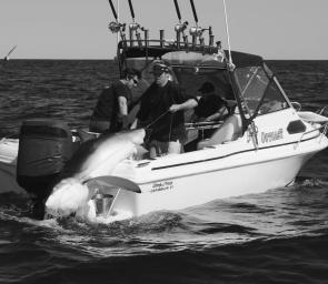 The Outcast crew uses a block and tackle to winch Andrew Finney's 192.5kg blue shark aboard. It's a world record claim.