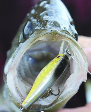 When EPs are feeding aggressively they can be much easier to catch than bream.