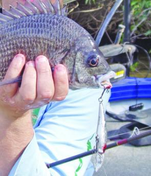 The pikey bream were great to target on smaller lures with the right technique.