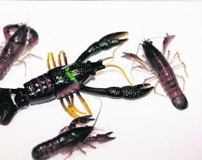 Lures for native fish are being made in remarkably lifelike patterns. It's hard to spot the artificial in the middle of these three live yabbies.