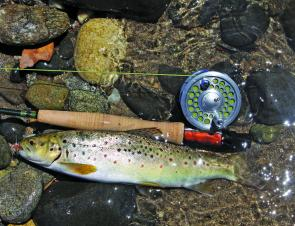 A typical Ovens River brown trout taken on a Stimulator dry fly.