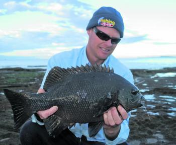 This solid pig took a bread bait cast into an area that had been lightly peppered with bread-based berley. The 15kg leader was quite scuffed after the fish was landed, as it tried to win its freedom among thick kelp growth.
