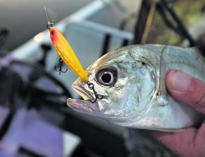 Quality bream are still taking baits and lures in the rivers.