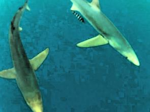 Two small blue shark with a pilot fish in tow.