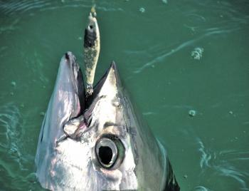 Think outside the square – some tuna take jigs.