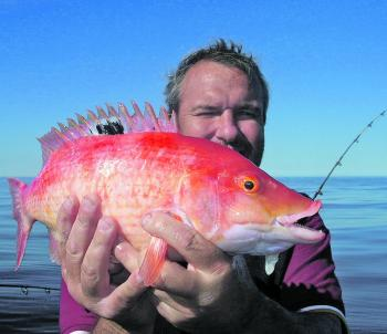 Pigfish are a true delicacy from the reefs.