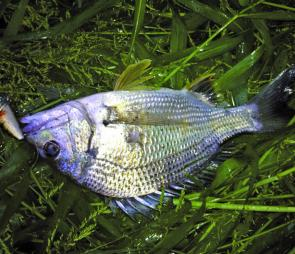 This bream was taken on a Mazzy Popper; these fish have been popping up everywhere lately.