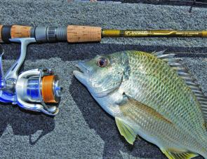 Tuggerah Lakes is a good place to run into bream like this.