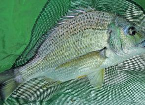 A fat Winter bream taken on a soft plastic from the southern end of Pittwater.