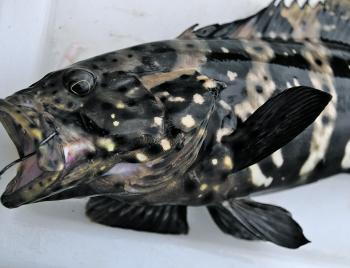 Black cod are a protected species. Be sure to release them in good condition.