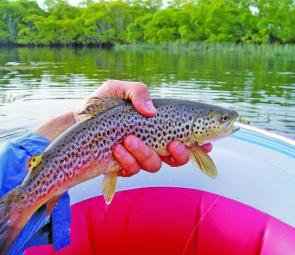 Feisty wild brown trout are the target, especially on the big and flat rivers.