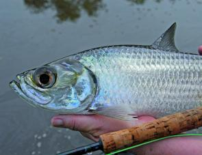 Few fish have eyes as large as tarpon which means they get onto the fly very quickly if in the mood.