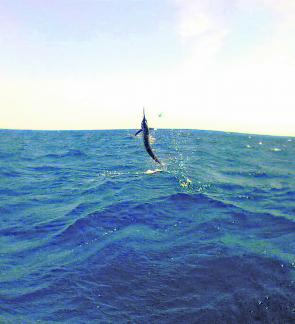 Many anglers have been seeing this as a black marlin takes off with a bait or lure intended for more standard inshore predators. Nobody is disappointed with such by-catch.